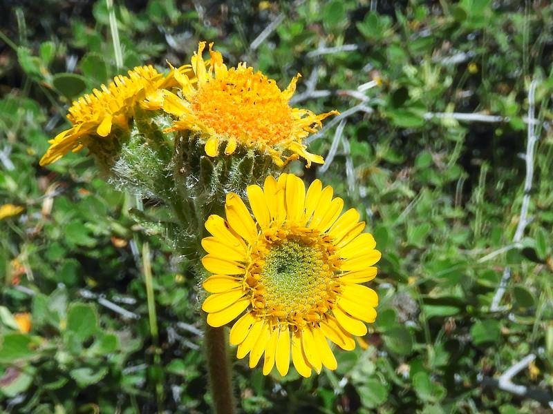 San Diego Hulsea (Hulsea californica) ASTERACEAE