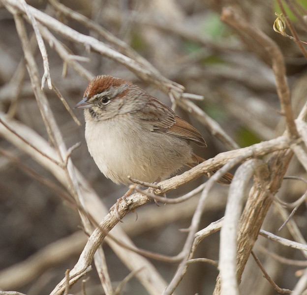 Rufous-crowned Sparrow  Elfin Forest  2017 12 25-1.CR2