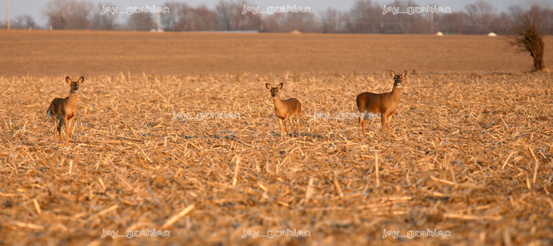 A trio of white-tailed deer stand in a field near 150E Coles County Road (Lake Road) and 100N Etna Road in rural Mattoon, Illinois on Monday, March 16, 2009. (Jay Grabiec)