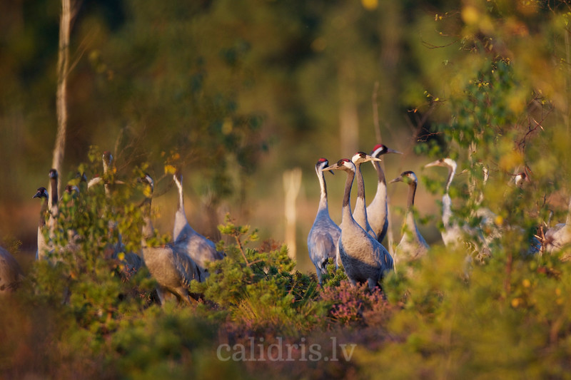 Common cranes in a marsh during Autumn migration