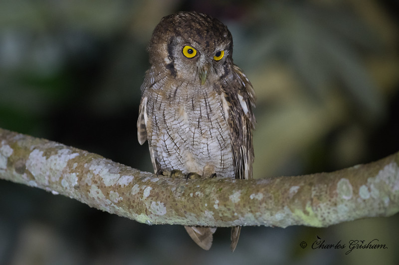 screech owl amazon ecuador february 2019-2.jpg
