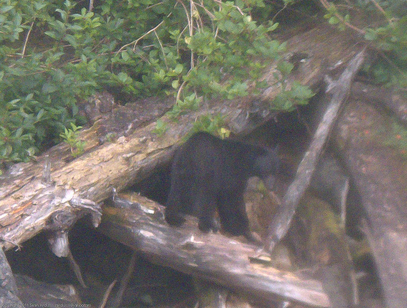 A big black bear is eating berries on the shore.