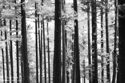 Photo of Pines at Murree hill near Islamabad