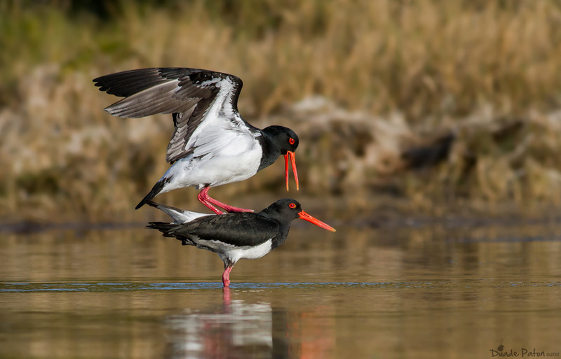 Australian Pied Oystercatcher - Mating