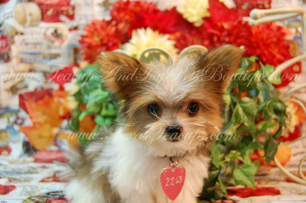 Parti Colored Biewer Yorkshire Terrier 2263 *