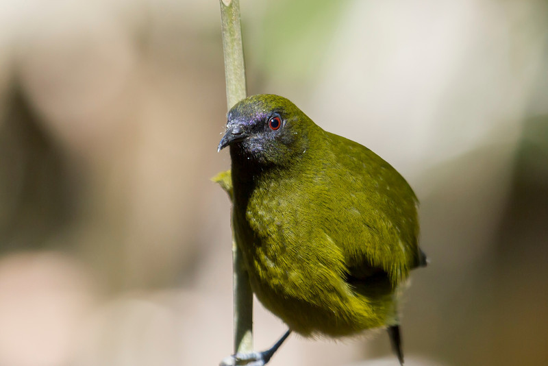 Bellbird - Close Focus.jpg