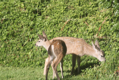 Young deer in yard - June 17