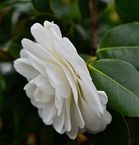 Our Camellias-12/16/18