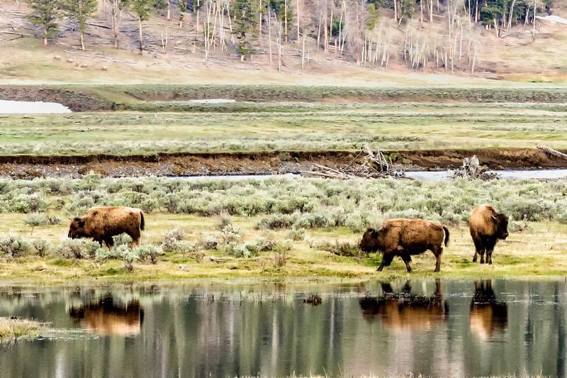 Yellowstone_May_2014_FH0T1539.jpg