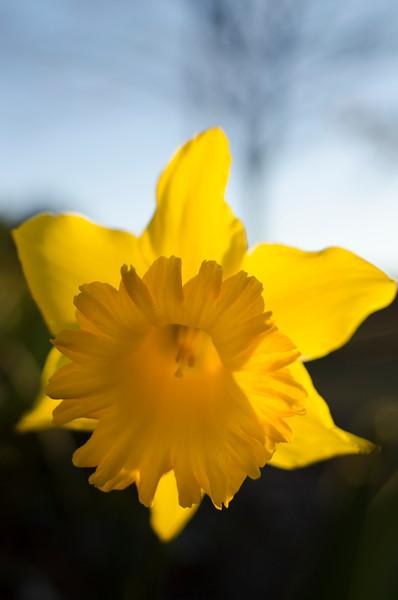 daffodil_fine art.tif