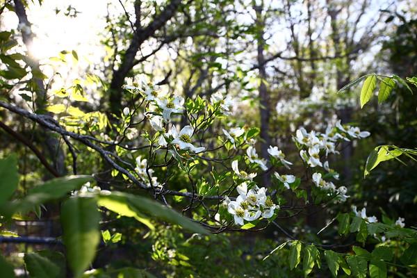 Macro spring blooms Azalea Dogwood