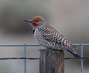 Woodpeckers (PICIFORMES)
