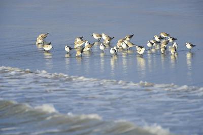 Shore Birds 4992