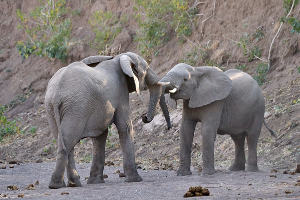 Elephant Joust Mashatu Botswana 2019