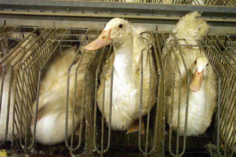 foie-gras-cages-individuelles-02.jpg