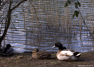 Ducks Set 3
