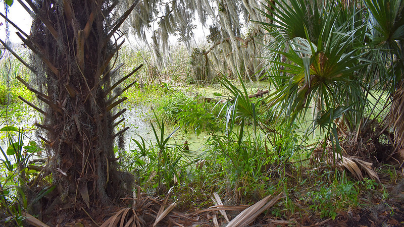 Marsh with cabbage palm