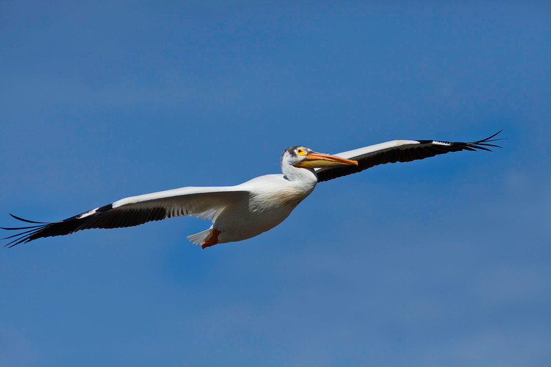Flying white pelican