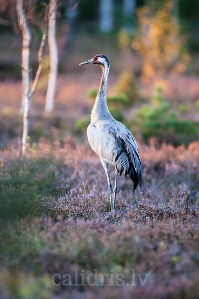 Dzērve purvā rudens migrācijas laikā / Common Crane in the marsh during Autumn migration
