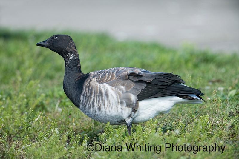 Brant Goose Atlantic .jpg