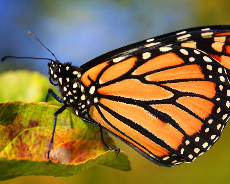 Monarch 01.jpg