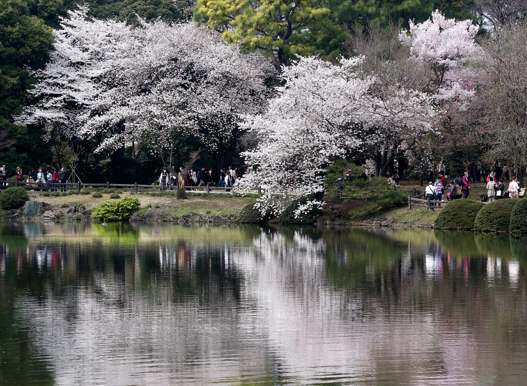 . Cherry blossom flowers are reflected on a pond at Shinjuku Gyoen national garden in Tokyo, Monday, March 26, 2018. Cherry blossom flowers are at full bloom in Tokyo, Japan as it warms up for the spring season.  (AP Photo/Koji Sasahara)