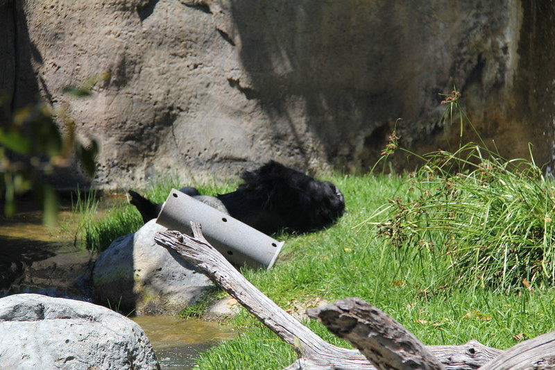 20170807-149 - San Diego Zoo - Gorilla.JPG