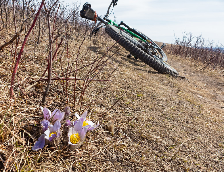 Good riding, and crocus popping out on Nose Hill, April 3.
