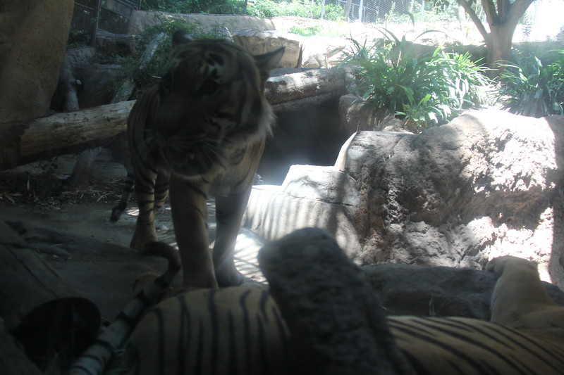 20170807-160 - San Diego Zoo - Tiger.JPG