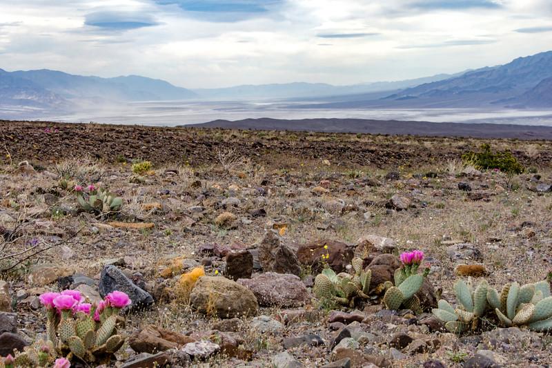 Cuscuta-Cactia-Death-Valley-April2107.jpg