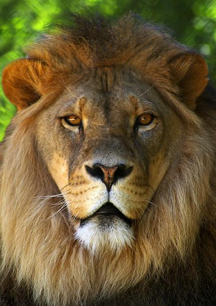 Lion-N17,02.jpg