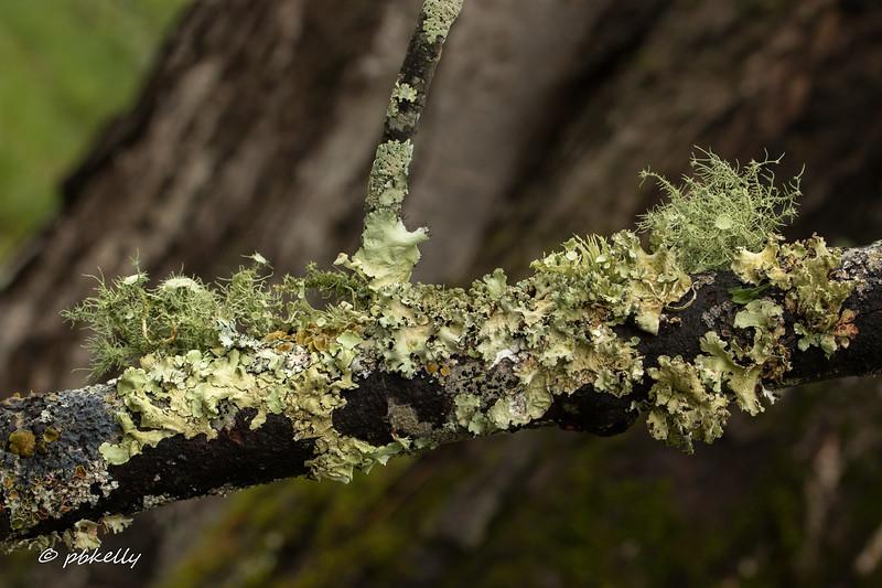 branch lichen 042417-8.jpg
