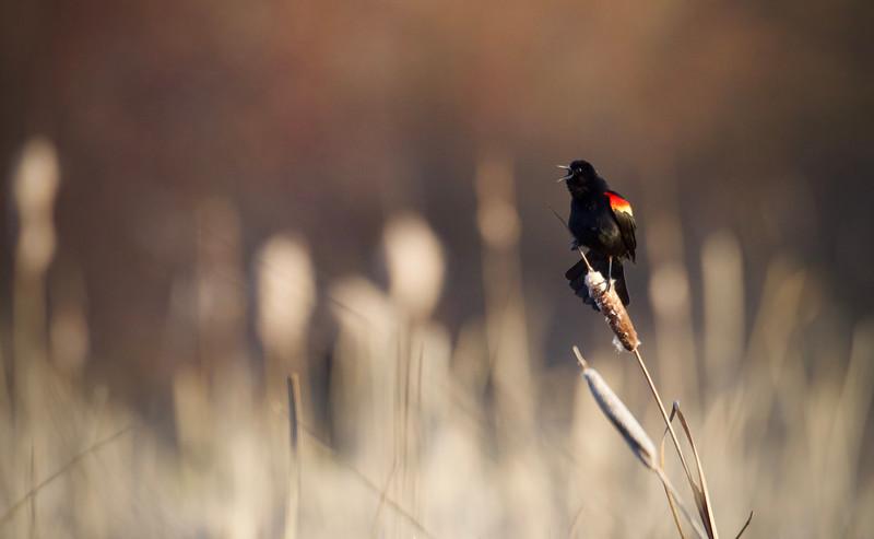 Red-winged Blackbird in soft evening light