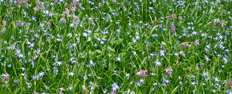 Blue Star Hyacinths and Corydalis solida flowers