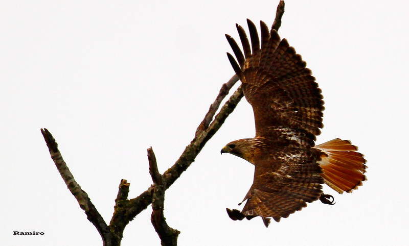 Red-tailed Hawk 5-9-15 279.jpg