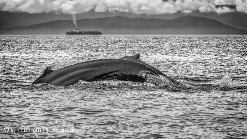 Cruising Humpbacks 2