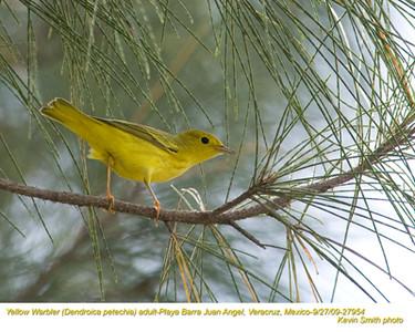YellowWarblerA27954.jpg