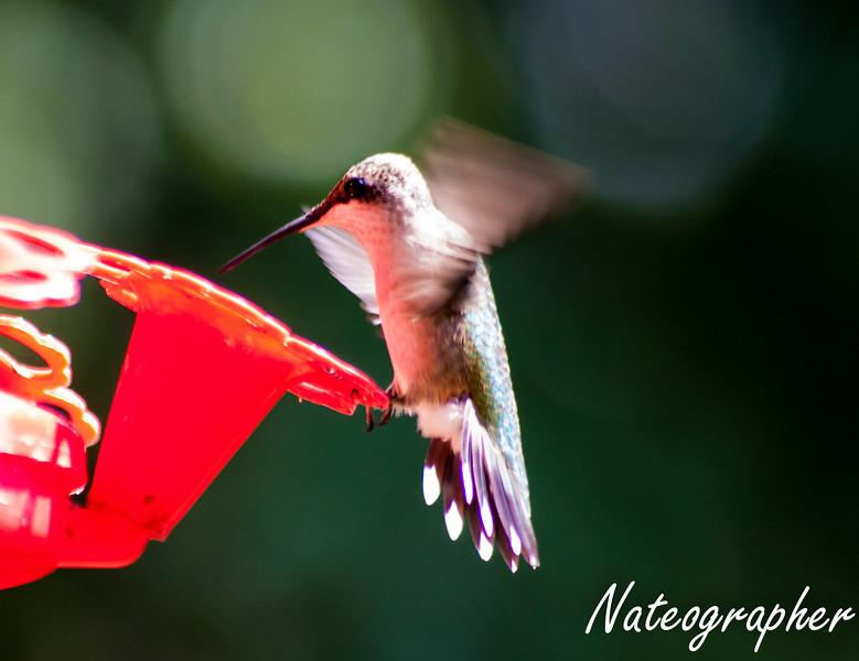 HummingBirds-4215.jpg