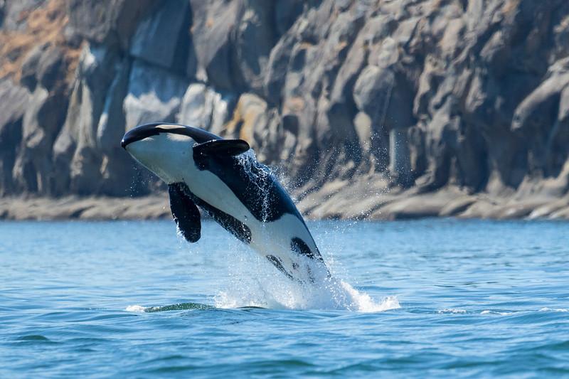 Orcas -  073115-152-Edit.jpg