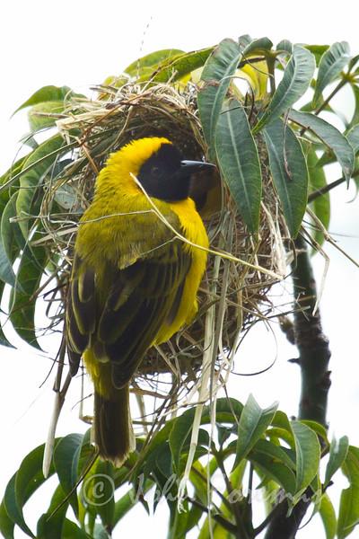 Yellow backed weavers