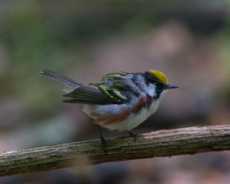 Chestnut-sided Warbler  Monticello Park, Alexandria VA  FOCUS FAILURE!!