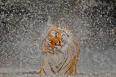 tigers, panthers. Pumas, etc