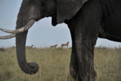 """""""Cheetah and elephant in Masai Mara"""""""