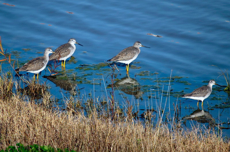 Four greater yellow legs in the Meyerland Detention Basin, Houston