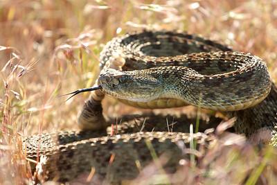 Montana Snakes