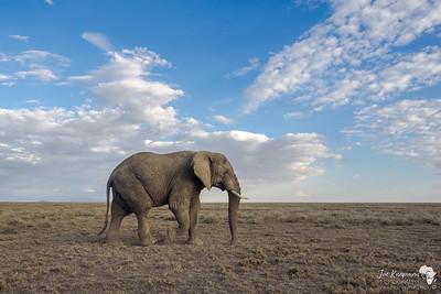 Wandering Bull Elephant