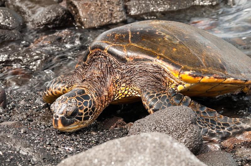 Sea Turtle Rockin
