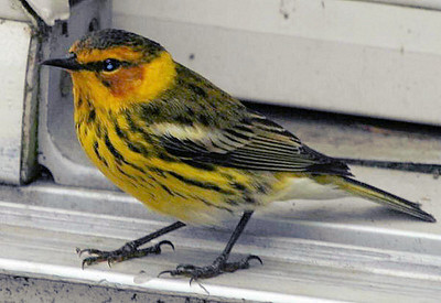 2007 Cape May Warbler