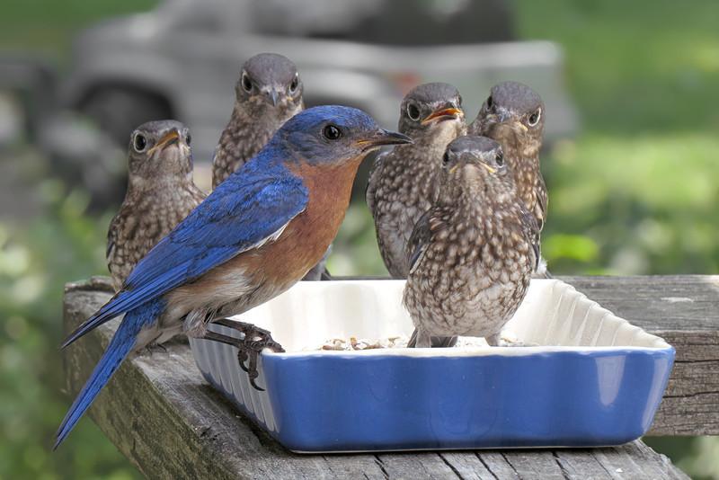 sx50_bluebird_fledgling_ben_1095c.jpg