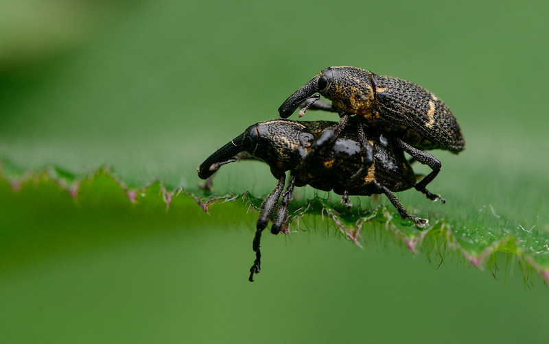Mating-weevil-bugs.jpg